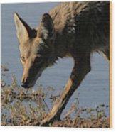 Arizona Coyote  Wood Print