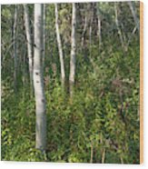Aspen Solitude Wood Print