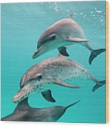 Atlantic Spotted Dolphin Stenella Wood Print