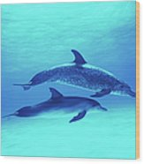 Atlantic Spotted Dolphins Stenella Wood Print