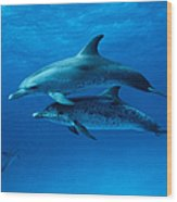 Atlantic Spotted Dolphins,stenella Wood Print