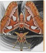 Atlas Moth8 Wood Print
