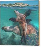 Australian Sea Lion Pair, Coral Coast Wood Print