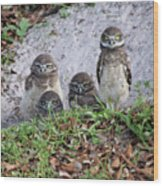 Baby Burrowing Owls Posing Wood Print