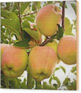 Backyard Garden Series - Apples In Apple Tree Wood Print