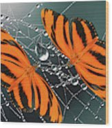 Banded Orange Butterfly. Wood Print