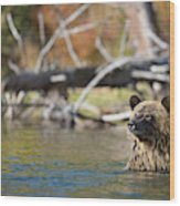 Bathing Blonde Grizzly Wood Print