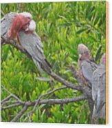 Beautiful Galah Birds With Babies. Wilsons Promontory National Park, Australia Wood Print