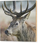 Beautiful Red Deer Stag Cervus Elaphus With Majestic Antelrs In  Wood Print
