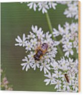 Bee Relaxing On A Flower. Wood Print