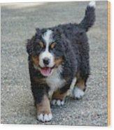 Bernese Mountain Dog Puppy 2 Wood Print