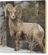 Bighorn Ram Feeding By Quake Lake Wood Print