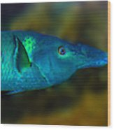 Bird Wrasse Wood Print