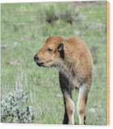 Bison Calf In Lamar Valley Wood Print