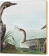 Black Throated Diver, Colymbus Arcticus By Audubon Wood Print