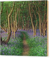 Bluebells In Sussex Wood Print