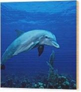 Bottlenose Dolphin,tursiops Wood Print