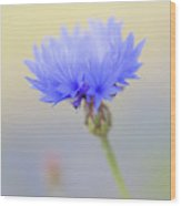 Bright Blue Cornflower Wood Print