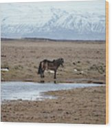 Brown Icelandic Horse In Profile Near Stream Wood Print