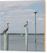 Brown Pelicans On Pilings And An Osprey Nest In The Tarpon Bay A Wood Print