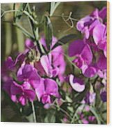 Bunch Of Pink Sweet Peas In The Sun Wood Print