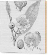 Camellia Sinensis, Botanical Vintage Engraving Wood Print