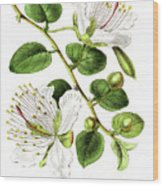 Caper Specie Engraving Illustration Wood Print