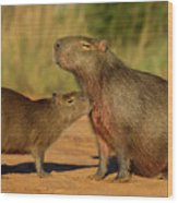 Capybara Juvenline Sniffing Mother Wood Print