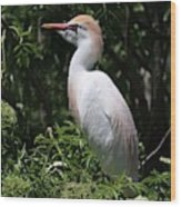 Cattle Egret With Breeding Feathers Wood Print
