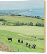 cattle in field and east coast Berwickshire Wood Print