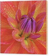 Centre Of Brightly Coloured Dahlia Wood Print