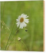Chamomile Or Daisy? Wood Print