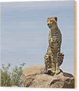 Cheetah Acinonyx Jubatus Sitting On A Wood Print