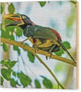 Chestnut-eared Araacari Wood Print
