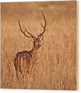 Chital - Kanha Tiger Reserve Wood Print