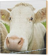 Close Up Of Cows Face Wood Print
