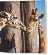 Close Up Of Two Giraffes Kissing Wood Print