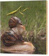Closeup Praying Mantis Riding On Snails Wood Print