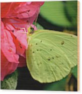 Cloudless Sulphur Wood Print