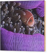 Clownfish In Purple Anenome Wood Print