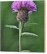 Common Knapweed 1 Wood Print