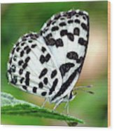 Common Pierrot Butterfly Wood Print