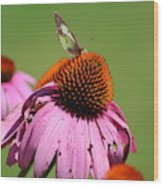 Cone Flower Butterfly At Rest Wood Print
