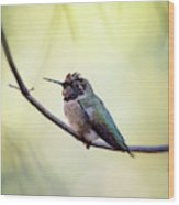 Costa's Humminbird On A Branch  Wood Print