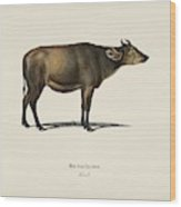 Cow  Bos Brachyceros  Illustrated By Charles Dessalines D' Orbigny  1806-1876  Wood Print