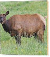 Cow Elk Grazing Wood Print