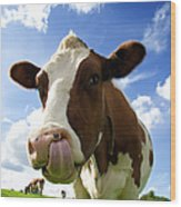 Cow Sticking Its Tongue Out Wood Print