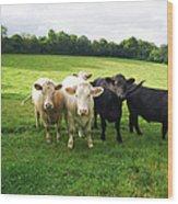 Cows Walking In Grassy Field Wood Print