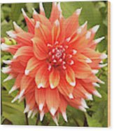 Dahlia Bloom Flower Wood Print