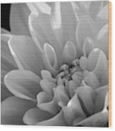 Dahlia In Monochrome Wood Print